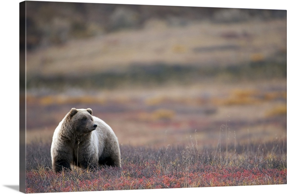 Large Solid-Faced Canvas Print Wall Art Print 30 x 20 entitled View of a Grizzly Bear standing in the fall tundra Denali N... Solid-Faced Canvas Print entitled View of a Grizzly Bear standing in the fall tundra Denali National Park.  View of a Grizzly Bear standing in the fall tundra, Denali National Park, Interior Alaska.  Multiple sizes available.  Primary colors within this image include Black, Gray.  Made in the USA.  Satisfaction guaranteed.  Inks used are latex-based and designed to last.  Featuring a proprietary design, our canvases produce the tightest corners without any bubbles, ripples, or bumps and will not warp or sag over time.  Canvas is handcrafted and made-to-order in the United States using high quality artist-grade canvas.