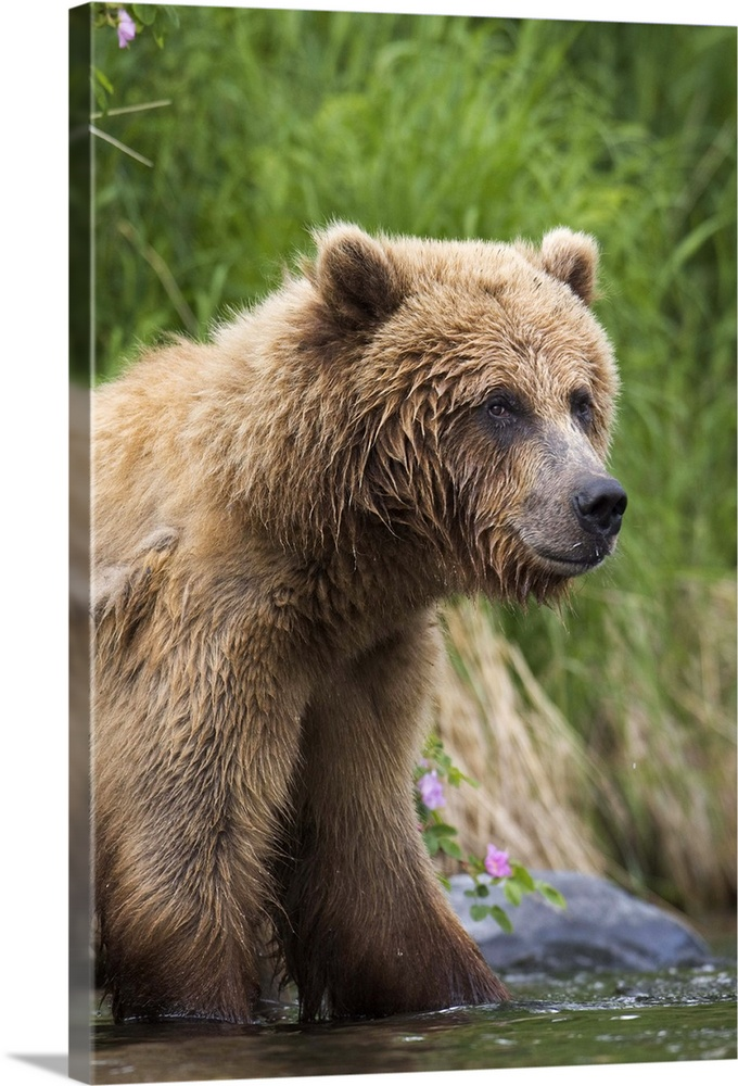 Large Solid-Faced Canvas Print Wall Art Print 20 x 30 entitled View of Brown bear standing near the shore of the Russian R... Solid-Faced Canvas Print entitled View of Brown bear standing near the shore of the Russian River Kenai Peninsula.  View of Brown bear standing near the shore of the Russian River, Kenai Peninsula, Southcentral Alaska, Chugach National Forest, Kenai National Wildlife Refuge, Summer.  Multiple sizes available.  Primary colors within this image include Forest Green, Lilac, Dark Gray, Silver.  Made in USA.  Satisfaction guaranteed.  Archival-quality UV-resistant inks.  Featuring a proprietary design, our canvases produce the tightest corners without any bubbles, ripples, or bumps and will not warp or sag over time.  Canvas depth is 1.25 and includes a finished backing with pre-installed hanging hardware.