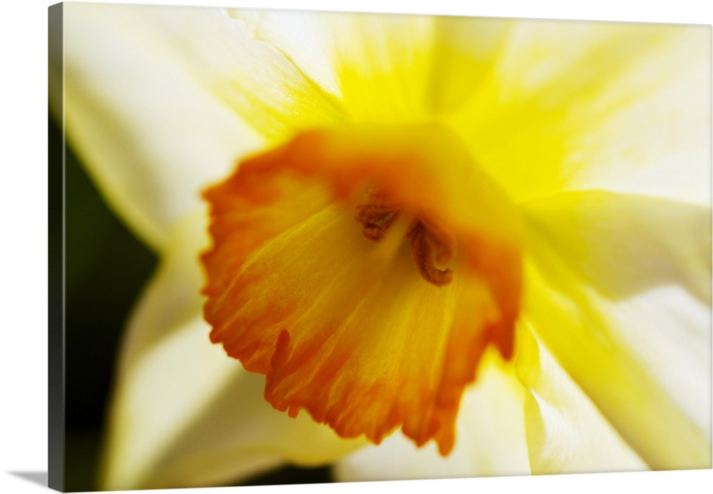 Solid-Faced Canvas drucken wand kunst entitled Weiß Daffodil, Selective Focus On