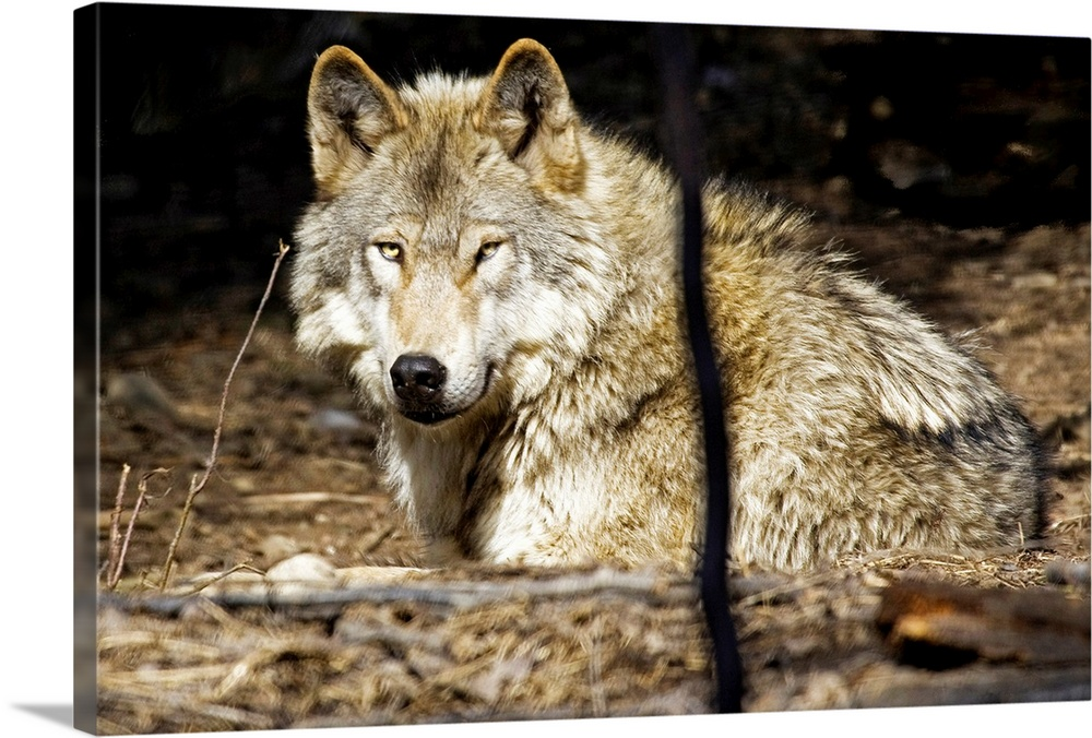 Large Solid-Faced Canvas Print Wall Art Print 30 x 20 entitled Wolf rests at the Alaska Zoo Solid-Faced Canvas Print entitled Wolf rests at the Alaska Zoo.  Multiple sizes available.  Primary colors within this image include Brown, Black, Gray, White.  Made in USA.  Satisfaction guaranteed.  Archival-quality UV-resistant inks.  Featuring a proprietary design, our canvases produce the tightest corners without any bubbles, ripples, or bumps and will not warp or sag over time.  Canvas is handcrafted and made-to-order in the United States using high quality artist-grade canvas.