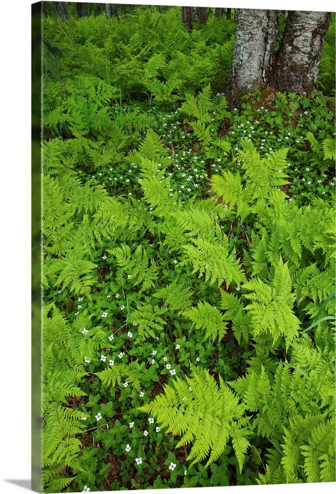 Large Solid-Faced Canvas Print Wall Art Print 20 x 30 entitled Wood ferns and bunch berry cover the ground near Byers Lake... Solid-Faced Canvas Print entitled Wood ferns and bunch berry cover the ground near Byers Lake, Denali State Park, Alaska.  Multiple sizes available.  Primary colors within this image include Light Gray, Dark Forest Green, Lime Green.  Made in the USA.  Satisfaction guaranteed.  Inks used are latex-based and designed to last.  Canvas depth is 1.25 and includes a finished backing with pre-installed hanging hardware.  Archival inks prevent fading and preserve as much fine detail as possible with no over-saturation or color shifting.