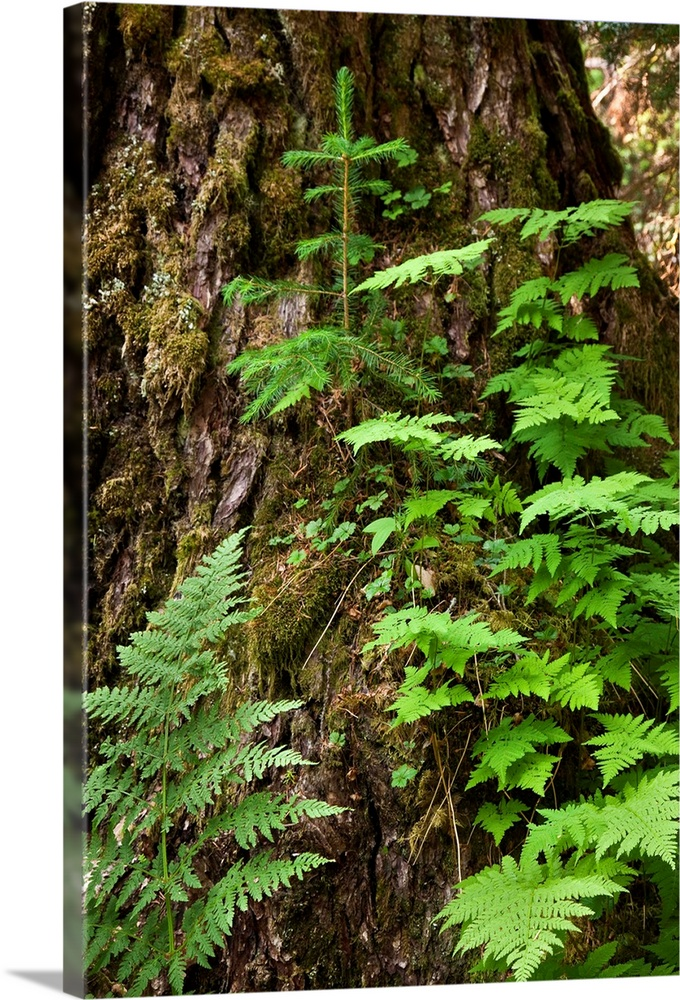 Large Solid-Faced Canvas Print Wall Art Print 20 x 30 entitled Wood ferns and spruce tree grow out of a large spruce tree,... Solid-Faced Canvas Print entitled Wood ferns and spruce tree grow out of a large spruce tree, Winner Creek trail, Girdwood.  Multiple sizes available.  Primary colors within this image include Forest Green, Light Green, Black, White.  Made in USA.  All products come with a 365 day workmanship guarantee.  Inks used are latex-based and designed to last.  Canvas is handcrafted and made-to-order in the United States using high quality artist-grade canvas.  Featuring a proprietary design, our canvases produce the tightest corners without any bubbles, ripples, or bumps and will not warp or sag over time.