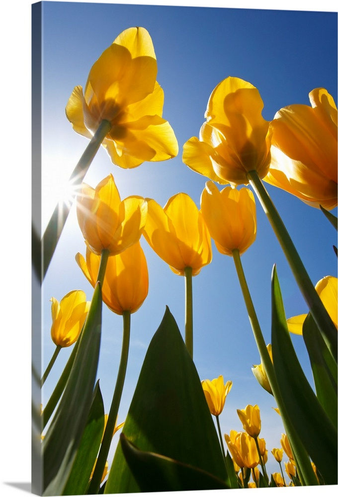 Large Solid-Faced Canvas Print Wall Art Print 20 x 30 entitled Yellow Tulips Against A Blue Sky At Wooden Shoe Tulip Farm;... Solid-Faced Canvas Print entitled Yellow Tulips Against A Blue Sky At Wooden Shoe Tulip Farm Oregon, USA.  Multiple sizes available.  Primary colors within this image include Orange, Peach, Sky Blue, Dark Forest Green.  Made in USA.  All products come with a 365 day workmanship guarantee.  Archival-quality UV-resistant inks.  Archival inks prevent fading and preserve as much fine detail as possible with no over-saturation or color shifting.  Featuring a proprietary design, our canvases produce the tightest corners without any bubbles, ripples, or bumps and will not warp or sag over time.