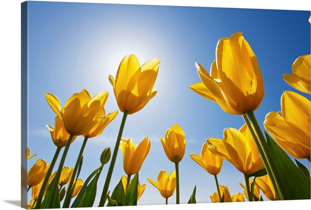 Large Solid-Faced Canvas Print Wall Art Print 30 x 20 entitled Yellow Tulips Against A Blue Sky At Wooden Shoe Tulip Farm;... Solid-Faced Canvas Print entitled Yellow Tulips Against A Blue Sky At Wooden Shoe Tulip Farm Oregon, USA.  Multiple sizes available.  Primary colors within this image include Yellow, Brown, Forest Green, Sky Blue.  Made in USA.  All products come with a 365 day workmanship guarantee.  Archival-quality UV-resistant inks.  Archival inks prevent fading and preserve as much fine detail as possible with no over-saturation or color shifting.  Canvas depth is 1.25 and includes a finished backing with pre-installed hanging hardware.