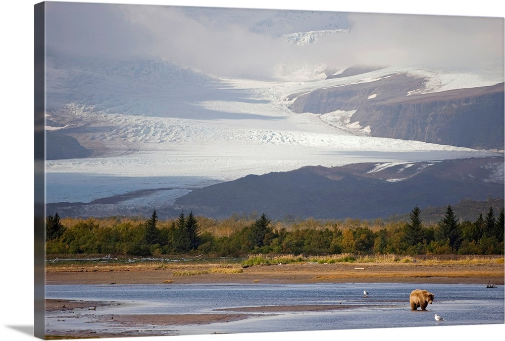 Large Solid-Faced Canvas Print Wall Art Print 30 x 20 entitled Young Grizzly fishing at Hallo Bay, Katmai National Park, A... Solid-Faced Canvas Print entitled Young Grizzly fishing at Hallo Bay, Katmai National Park, Alaska.  Multiple sizes available.  Primary colors within this image include Gray, Silver, Dark Forest Green.  Made in USA.  All products come with a 365 day workmanship guarantee.  Archival-quality UV-resistant inks.  Canvas is handcrafted and made-to-order in the United States using high quality artist-grade canvas.  Featuring a proprietary design, our canvases produce the tightest corners without any bubbles, ripples, or bumps and will not warp or sag over time.