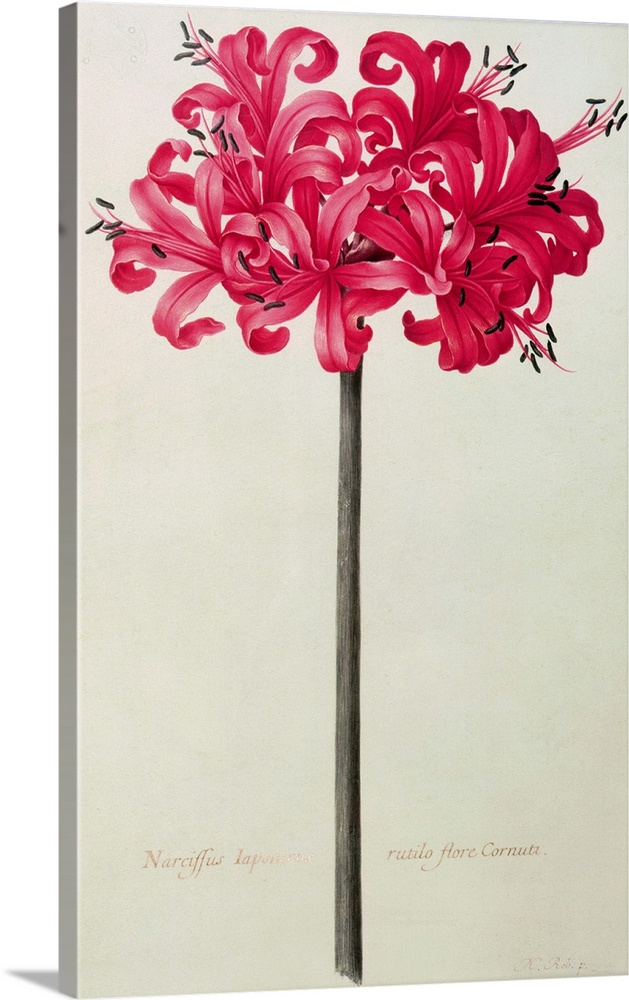 Solid-Faced Canvas Drucken Wand Kunst entitled Amaryllis Sarniensis, or Narcissus