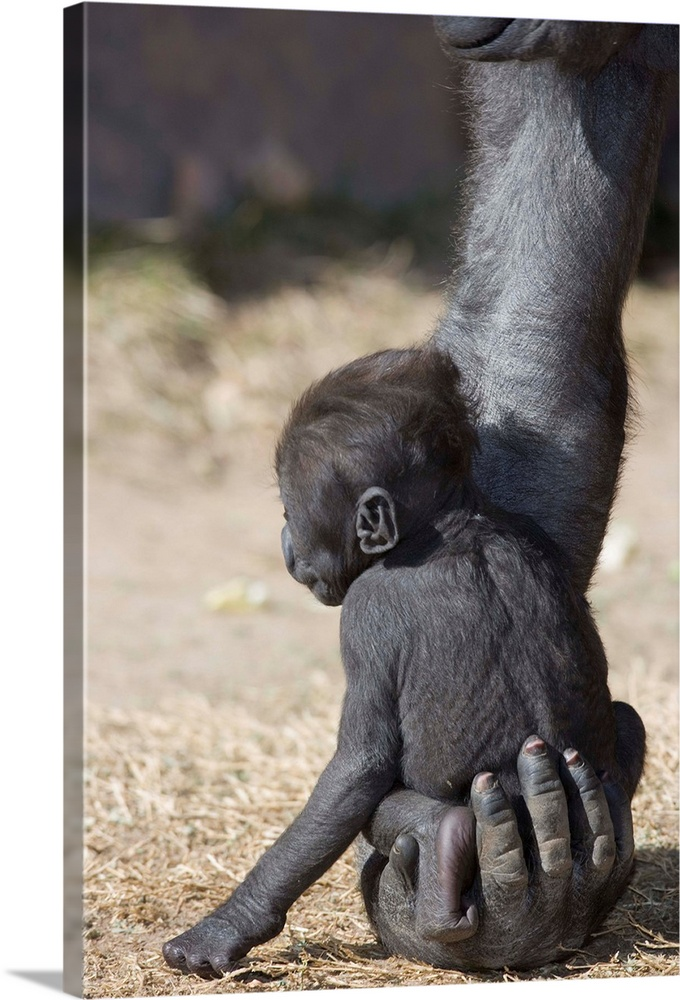 Large Gallery-Wrapped Canvas Wall Art Print 16 x 24 entitled Baby Gorilla Sitting On Mother'S Hand Gallery-Wrapped Canvas entitled Baby Gorilla Sitting On MotherS Hand.  Multiple sizes available.  Primary colors within this image include Dark Gray Silver.  Made in USA.  All products come with a 365 day workmanship guarantee.  Archival-quality UV-resistant inks.  Canvases have a UVB protection built in to protect against fading and moisture and are designed to last for over 100 years.  Canvas is acid-free and 20 millimeters thick.