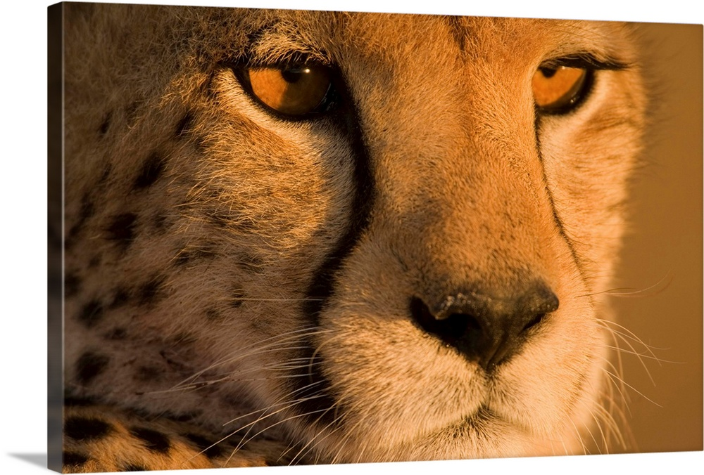 Large Gallery-Wrapped Canvas Wall Art Print 24 x 16 entitled Cheetah, Masai Mara Game Reserve, Kenya Gallery-Wrapped Canvas entitled Cheetah, Masai Mara Game Reserve, Kenya.  Multiple sizes available.  Primary colors within this image include Brown, Peach, Black.  Made in the USA.  Satisfaction guaranteed.  Archival-quality UV-resistant inks.  Canvases are stretched across a 1.5 inch thick wooden frame with easy-to-mount hanging hardware.  Canvas is acid-free and 20 millimeters thick.