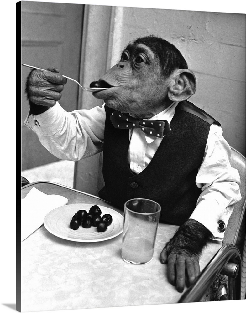Large Gallery-Wrapped Canvas Wall Art Print 16 x 20 entitled Chimpanzee Dining At A Table Gallery-Wrapped Canvas entitled Chimpanzee Dining At A Table.  Chimpanzee Kokomo, wearing mens clothes, eats at a table.  Multiple sizes available.  Primary colors within this image include Black, Light Gray.  Made in USA.  Satisfaction guaranteed.  Archival-quality UV-resistant inks.  Canvas is acid-free and 20 millimeters thick.  Museum-quality, artist-grade canvas mounted on sturdy wooden stretcher bars 1.5 thick.  Comes ready to hang.
