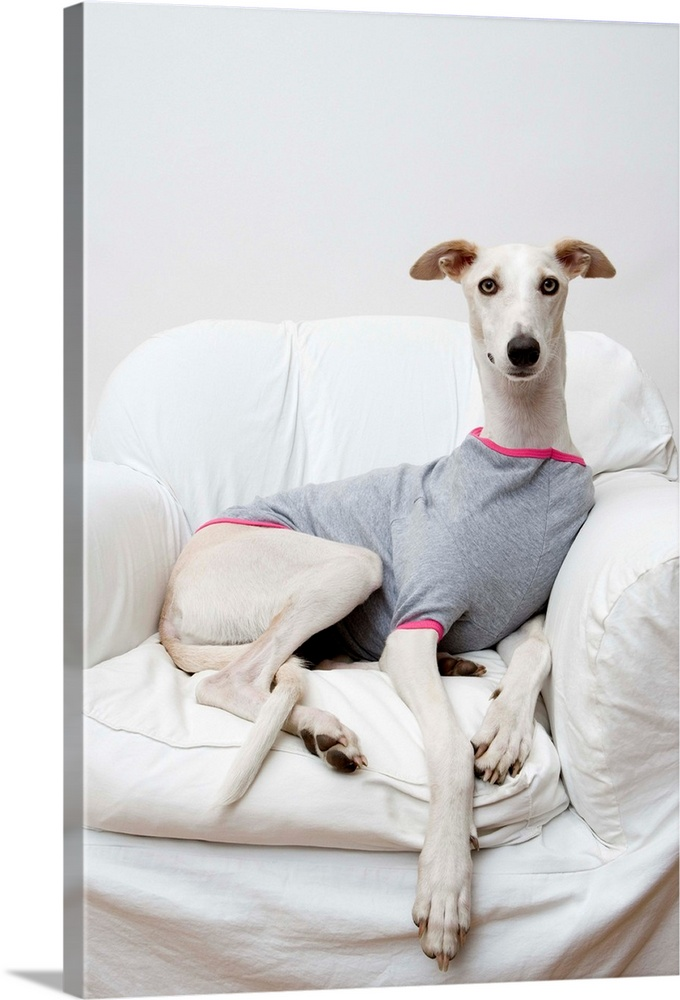 Large Gallery-Wrapped Canvas Wall Art Print 16 x 24 entitled Greyhound Wearing A T-Shirt Gallery-Wrapped Canvas entitled Greyhound Wearing A T-Shirt.  Multiple sizes available.  Primary colors within this image include Light Purple Black Gray Silver.  Made in USA.  Satisfaction guaranteed.  Archival-quality UV-resistant inks.  Canvas is acid-free and 20 millimeters thick.  Canvases have a UVB protection built in to protect against fading and moisture and are designed to last for over 100 years.