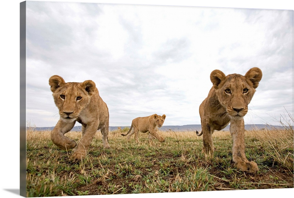 Large Gallery-Wrapped Canvas Wall Art Print 24 x 16 entitled Lion Cubs In Masai Mara Game Reserve, Kenya Gallery-Wrapped Canvas entitled Lion Cubs In Masai Mara Game Reserve, Kenya.  Lion cubs Panthera leo stalking toward remote camera with wide angle lens.  Multiple sizes available.  Primary colors within this image include Black, Silver, Dark Forest Green.  Made in USA.  All products come with a 365 day workmanship guarantee.  Inks used are latex-based and designed to last.  Canvas is a 65 polyester, 35 cotton base, with two acrylic latex primer basecoats and a semi-gloss inkjet receptive topcoat.  Canvas is acid-free and 20 millimeters thick.