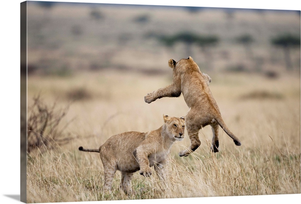 Large Gallery-Wrapped Canvas Wall Art Print 24 x 16 entitled Lions Playing In Masai Mara Game Reserve, Kenya Gallery-Wrapped Canvas entitled Lions Playing In Masai Mara Game Reserve, Kenya.  Multiple sizes available.  Primary colors within this image include Black, Silver, Muted Blue.  Made in USA.  Satisfaction guaranteed.  Archival-quality UV-resistant inks.  Canvas frames are built with farmed or reclaimed domestic pine or poplar wood.  Canvas is designed to prevent fading.