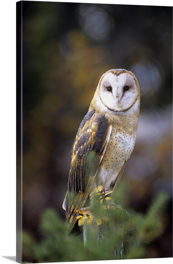 Large Solid-Faced Canvas Print Wall Art Print 20 x 30 entitled A barn owl on a fence post looking at camera Solid-Faced Canvas Print entitled A barn owl on a fence post looking at camera.  A barn owl on a fence post looking at camera.  Multiple sizes available.  Primary colors within this image include Peach, Dark Gray, Silver.  Made in USA.  All products come with a 365 day workmanship guarantee.  Archival-quality UV-resistant inks.  Archival inks prevent fading and preserve as much fine detail as possible with no over-saturation or color shifting.  Featuring a proprietary design, our canvases produce the tightest corners without any bubbles, ripples, or bumps and will not warp or sag over time.