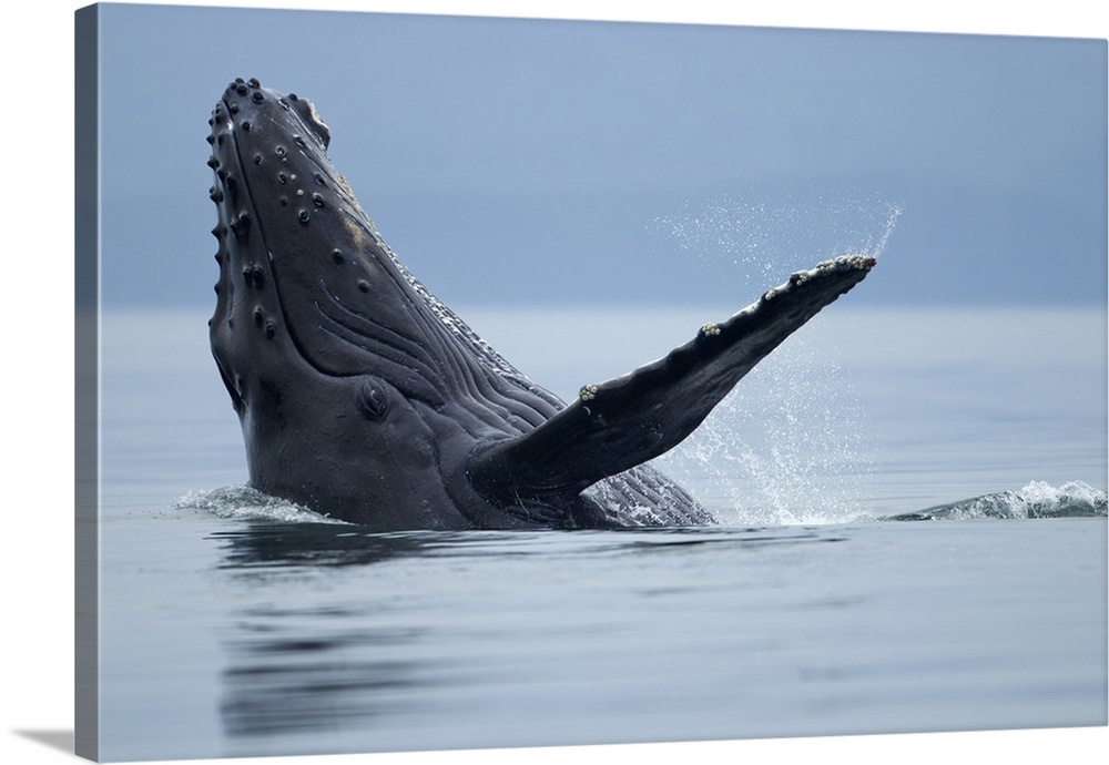 Large Solid-Faced Canvas Print Wall Art Print 30 x 20 entitled Alaska, Tongass National Forest,  Humpback Whale splashing ... Solid-Faced Canvas Print entitled Alaska, Tongass National Forest,  Humpback Whale splashing on its back in Icy Strait.  USA, Alaska, Tongass National Forest, Young Humpback Whale Megaptera novaengliae makes eye contact while splashing on its back in Icy Strait on summer evening.  Multiple sizes available.  Primary colors within this image include Dark Navy Blue, Light Gray Blue.  Made in the USA.  All products come with a 365 day workmanship guarantee.  Archival-quality UV-resistant inks.  Canvas is handcrafted and made-to-order in the United States using high quality artist-grade canvas.  Canvas depth is 1.25 and includes a finished backing with pre-installed hanging hardware.