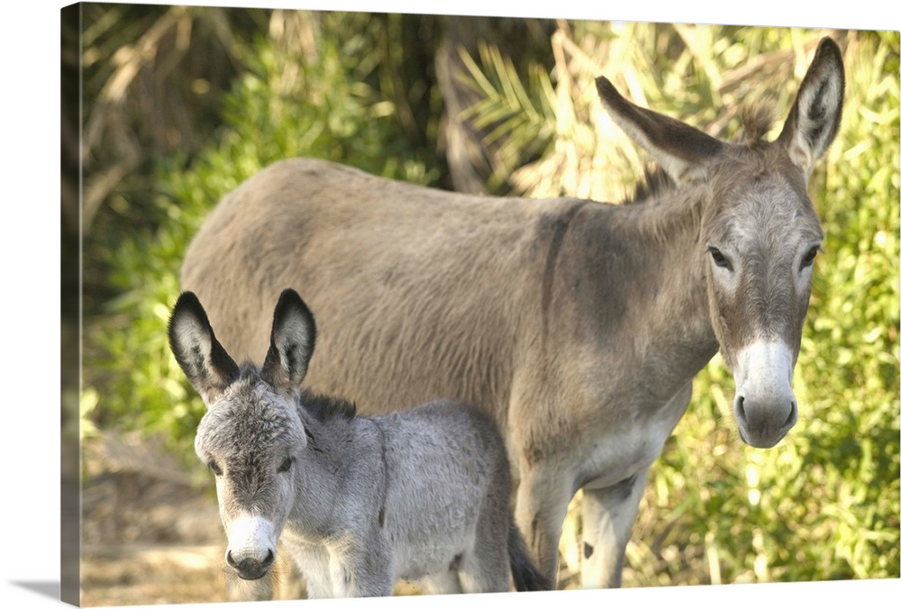 Large Gallery-Wrapped Canvas Wall Art Print 24 x 16 entitled Caribbean, Turks and Caicos, Salt Cay Island, Mother and Just... Gallery-Wrapped Canvas entitled Caribbean Turks and Caicos Salt Cay Island Mother and Just Born Baby Donkeys.  Caribbean TURKS .  Multiple sizes available.  Primary colors within this image include Dark Yellow Peach Black Gray.  Made in the USA.  Satisfaction guaranteed.  Inks used are latex-based and designed to last.  Canvas frames are built with farmed or reclaimed domestic pine or poplar wood.  Canvas is acid-free and 20 millimeters thick.
