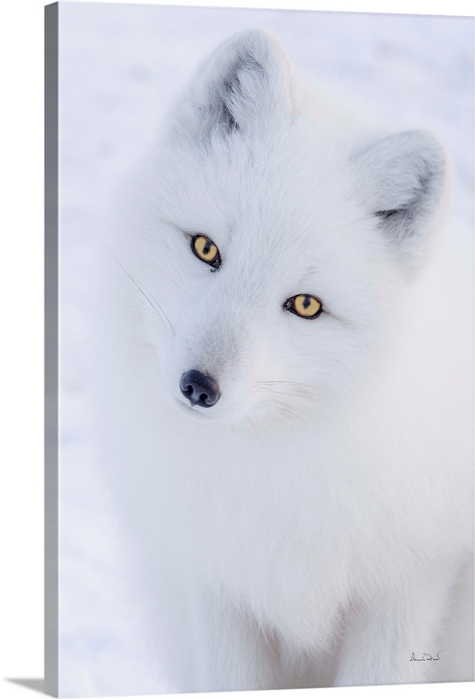 Large Solid-Faced Canvas Print Wall Art Print 20 x 30 entitled Arctic Fox Curiosity Solid-Faced Canvas Print entitled Arctic Fox Curiosity.  Curious Arctic Fox Vulpes lagopus posing for the camera, Churchill, Manitoba, Canada.  Multiple sizes available.  Primary colors within this image include White, Dark Navy Blue.  Made in USA.  Satisfaction guaranteed.  Archival-quality UV-resistant inks.  Featuring a proprietary design, our canvases produce the tightest corners without any bubbles, ripples, or bumps and will not warp or sag over time.  Canvas is handcrafted and made-to-order in the United States using high quality artist-grade canvas.