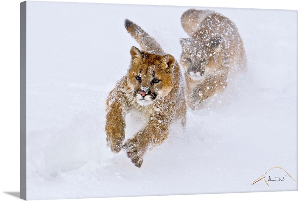 Large Solid-Faced Canvas Print Wall Art Print 30 x 20 entitled Mountain Lion Siblings Play Tag Solid-Faced Canvas Print entitled Mountain Lion Siblings Play Tag.  Young Mountain Lion Felis concolor cubs chasing in play near Bozeman Montana, USA.  Multiple sizes available.  Primary colors within this image include Peach, White, Dark Forest Green.  Made in USA.  Satisfaction guaranteed.  Inks used are latex-based and designed to last.  Canvas is handcrafted and made-to-order in the United States using high quality artist-grade canvas.  Featuring a proprietary design, our canvases produce the tightest corners without any bubbles, ripples, or bumps and will not warp or sag over time.