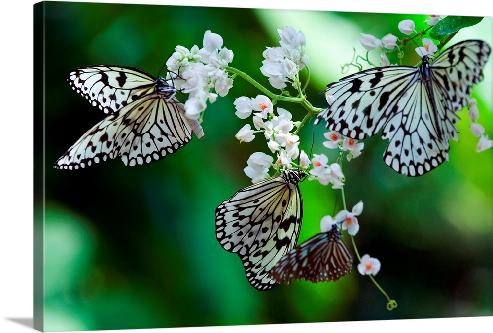 Large Gallery-Wrapped Canvas Wall Art Print 24 x 16 entitled Common Tree Nymph Butterfly, (Idea stolli logani) Gallery-Wrapped Canvas entitled Common Tree Nymph Butterfly Idea stolli logani.  Malaysia Penang Penang Common Tree Nymph Idea stolli logani butterfly.  Multiple sizes available.  Primary colors within this image include Green Forest Green White Dark Forest Green.  Made in the USA.  Satisfaction guaranteed.  Archival-quality UV-resistant inks.  Canvas is a 65 polyester 35 cotton base with two acrylic latex primer basecoats and a semi-gloss inkjet receptive topcoat.  Canvas is designed to prevent fading.