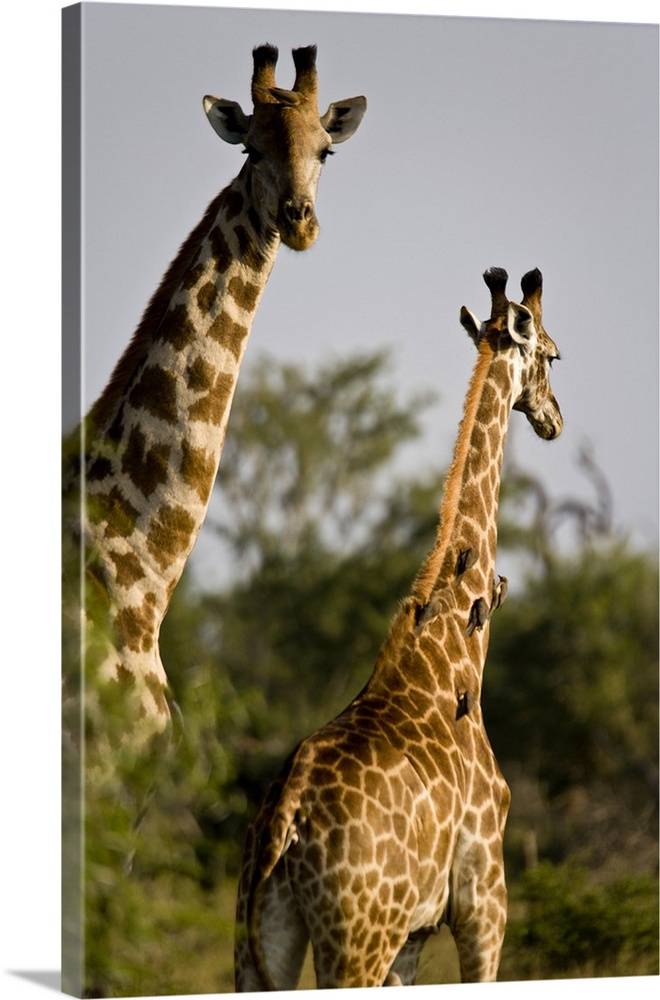 Large Gallery-Wrapped Canvas Wall Art Print 16 x 24 entitled South Africa, Madikwe game reserve, two giraffes Gallery-Wrapped Canvas entitled South Africa, Madikwe game reserve, two giraffes.  Multiple sizes available.  Primary colors within this image include Black, Light Gray, White, Dark Forest Green.  Made in the USA.  All products come with a 365 day workmanship guarantee.  Archival-quality UV-resistant inks.  Canvas is designed to prevent fading.  Canvas frames are built with farmed or reclaimed domestic pine or poplar wood.