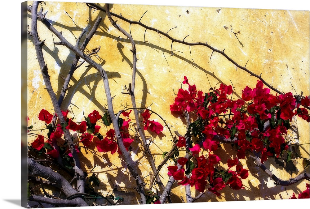 Large Solid-Faced Canvas Print Wall Art Print 30 x 20 entitled Flowers of Carmel I Solid-Faced Canvas Print entitled Flowers of Carmel I.  Photograph of a tree with flowers dotting its branches against a bright wall. Shadows of tree branches appear on the wall.  Multiple sizes available.  Primary colors within this image include Fuschia, Dark Red, White, Dark Forest Green.  Made in USA.  All products come with a 365 day workmanship guarantee.  Archival-quality UV-resistant inks.  Canvas depth is 1.25 and includes a finished backing with pre-installed hanging hardware.  Featuring a proprietary design, our canvases produce the tightest corners without any bubbles, ripples, or bumps and will not warp or sag over time.