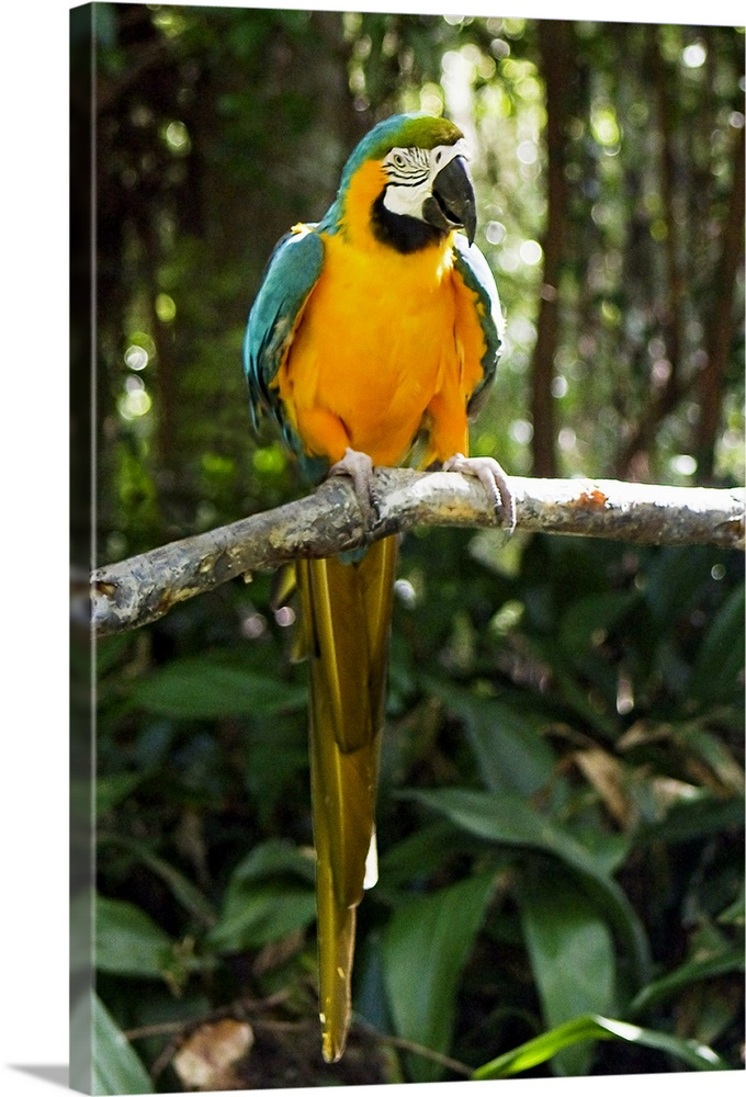 Large Gallery-Wrapped Canvas Wall Art Print 16 x 24 entitled McCaw 2 Gallery-Wrapped Canvas entitled McCaw 2.  Portrait photograph on a large wall hanging of a colorful macaw bird perched on a branch and looking at the camera surrounded by a background of trees and green foliage.  Multiple sizes available.  Primary colors within this image include Orange Brown Light Yellow Black.  Made in USA.  All products come with a 365 day workmanship guarantee.  Inks used are latex-based and designed to last.  Canvas frames are built with farmed or reclaimed domestic pine or poplar wood.  Canvas is designed to prevent fading.