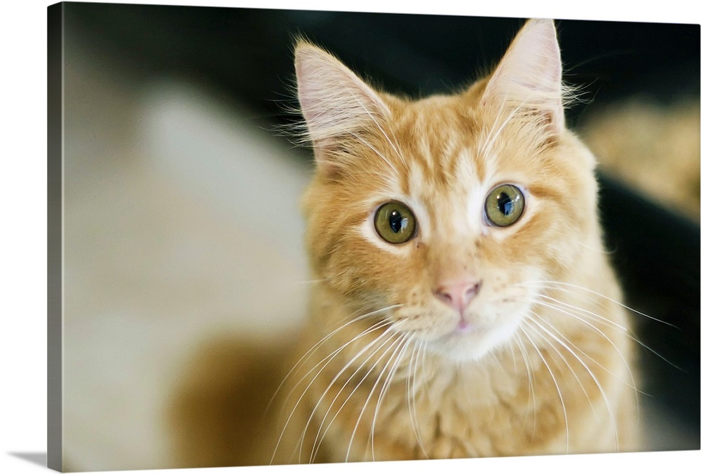 Large Gallery-Wrapped Canvas Wall Art Print 24 x 16 entitled A fluffy orange cat with yellow eyes is looking at the camera. Gallery-Wrapped Canvas entitled A fluffy orange cat with yellow eyes is looking at the camera..  A fluffy orange cat with yellow eyes is looking at the camera. The cat has long white whiskers. Close up pictures of cat head and neck.  Multiple sizes available.  Primary colors within this image include Brown Black Silver.  Made in USA.  All products come with a 365 day workmanship guarantee.  Inks used are latex-based and designed to last.  Canvases have a UVB protection built in to protect against fading and moisture and are designed to last for over 100 years.  Canvas is designed to prevent fading.