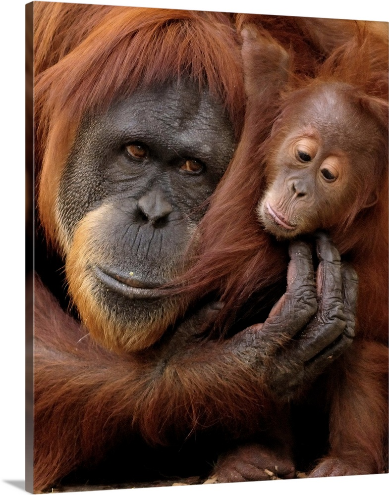 Large Gallery-Wrapped Canvas Wall Art Print 16 x 20 entitled A mother and baby orangutan share a hug. Gallery-Wrapped Canvas entitled A mother and baby orangutan share a hug..  Multiple sizes available.  Primary colors within this image include Brown Black Light Gray.  Made in the USA.  Satisfaction guaranteed.  Inks used are latex-based and designed to last.  Museum-quality artist-grade canvas mounted on sturdy wooden stretcher bars 1.5 thick.  Comes ready to hang.  Canvases are stretched across a 1.5 inch thick wooden frame with easy-to-mount hanging hardware.