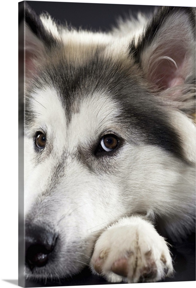 Large Gallery-Wrapped Canvas Wall Art Print 16 x 24 entitled Alaskan Malamute looking at camera Gallery-Wrapped Canvas entitled Alaskan Malamute looking at camera.  Multiple sizes available.  Primary colors within this image include Dark Gray Silver.  Made in USA.  All products come with a 365 day workmanship guarantee.  Inks used are latex-based and designed to last.  Canvas is acid-free and 20 millimeters thick.  Museum-quality artist-grade canvas mounted on sturdy wooden stretcher bars 1.5 thick.  Comes ready to hang.
