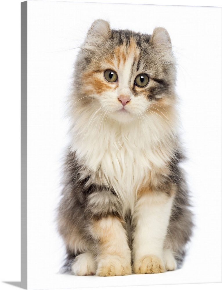 Large Gallery-Wrapped Canvas Wall Art Print 18 x 24 entitled American Curl kitten sitting Gallery-Wrapped Canvas entitled American Curl kitten sitting.  American Curl kitten 3 months old sitting and looking at the camera.  Multiple sizes available.  Primary colors within this image include Black Gray White.  Made in the USA.  All products come with a 365 day workmanship guarantee.  Inks used are latex-based and designed to last.  Canvases have a UVB protection built in to protect against fading and moisture and are designed to last for over 100 years.  Canvas is designed to prevent fading.