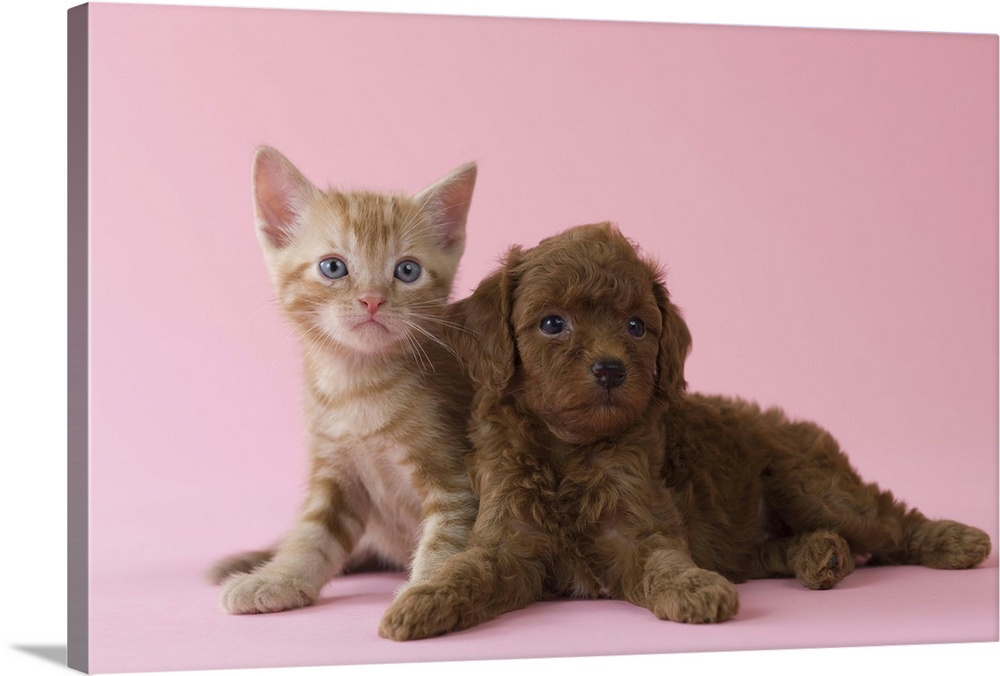 Large Solid-Faced Canvas Print Wall Art Print 30 x 20 entitled American Short-hair Kitten and Toy Poodle Puppy lying together Solid-Faced Canvas Print entitled American Short-hair Kitten and Toy Poodle Puppy lying together.  Multiple sizes available.  Primary colors within this image include Silver, Dark Forest Green.  Made in the USA.  Satisfaction guaranteed.  Inks used are latex-based and designed to last.  Canvas is handcrafted and made-to-order in the United States using high quality artist-grade canvas.  Archival inks prevent fading and preserve as much fine detail as possible with no over-saturation or color shifting.