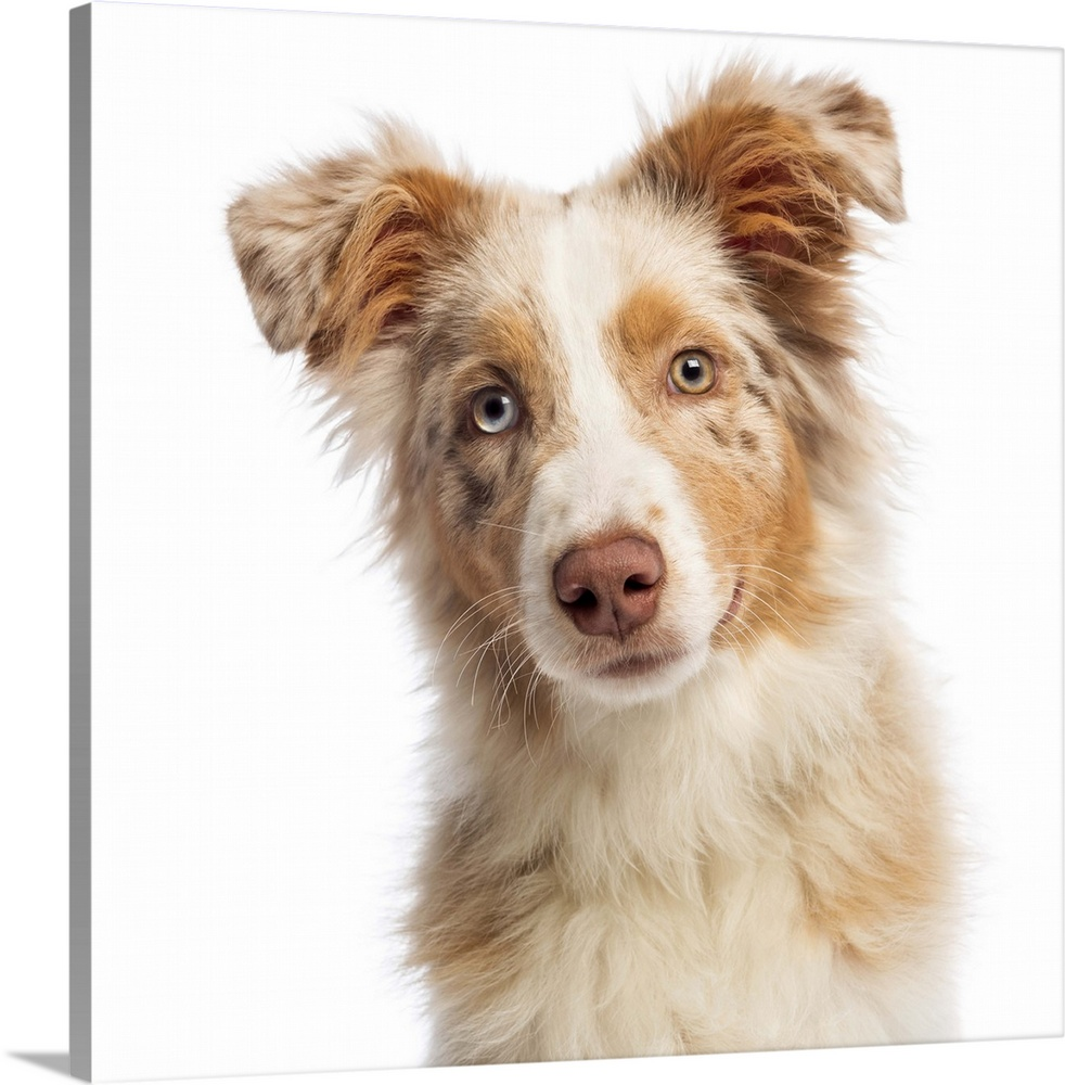 Large Gallery-Wrapped Canvas Wall Art Print 16 x 16 entitled An Australian Shepherd Gallery-Wrapped Canvas entitled An Australian Shepherd.  Close-up of an Australian Shepherd 5 months old looking at the camera.  Multiple sizes available.  Primary colors within this image include Black Light Gray White.  Made in the USA.  All products come with a 365 day workmanship guarantee.  Inks used are latex-based and designed to last.  Canvas is acid-free and 20 millimeters thick.  Canvases have a UVB protection built in to protect against fading and moisture and are designed to last for over 100 years.