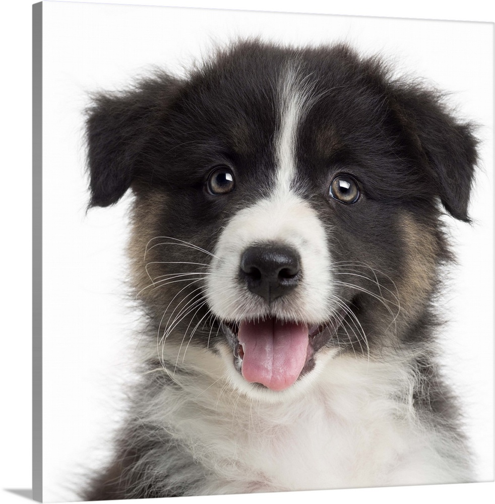 Large Solid-Faced Canvas Print Wall Art Print 20 x 20 entitled An Australian Shepherd puppy Solid-Faced Canvas Print entitled An Australian Shepherd puppy.  Close-up of an Australian Shepherd puppy 8 weeks old looking at the camera.  Multiple sizes available.  Primary colors within this image include Black, Light Gray, White.  Made in USA.  All products come with a 365 day workmanship guarantee.  Archival-quality UV-resistant inks.  Featuring a proprietary design, our canvases produce the tightest corners without any bubbles, ripples, or bumps and will not warp or sag over time.  Canvas is handcrafted and made-to-order in the United States using high quality artist-grade canvas.