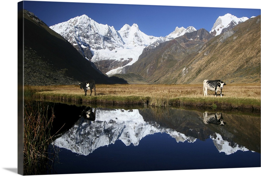 Large Gallery-Wrapped Canvas Wall Art Print 24 x 16 entitled Andean Cows Gallery-Wrapped Canvas entitled Andean Cows.  Cows looking at the camera near Yahuacocha lake late afternoon in front of the Huayhuash range from Yahuacocha campsite.  Multiple sizes available.  Primary colors within this image include White Dark Forest Green Royal Blue Dark Navy Blue.  Made in USA.  All products come with a 365 day workmanship guarantee.  Inks used are latex-based and designed to last.  Canvases have a UVB protection built in to protect against fading and moisture and are designed to last for over 100 years.  Canvas frames are built with farmed or reclaimed domestic pine or poplar wood.