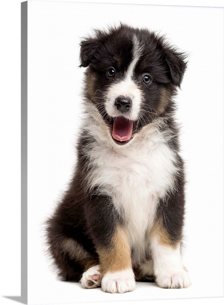 Large Gallery-Wrapped Canvas Wall Art Print 17 x 24 entitled Australian Shepherd puppy sitting Gallery-Wrapped Canvas entitled Australian Shepherd puppy sitting.  Happy Australian Shepherd puppy sitting and looking at the camera.  Multiple sizes available.  Primary colors within this image include Dark Gray White.  Made in USA.  Satisfaction guaranteed.  Archival-quality UV-resistant inks.  Canvases are stretched across a 1.5 inch thick wooden frame with easy-to-mount hanging hardware.  Canvas is acid-free and 20 millimeters thick.