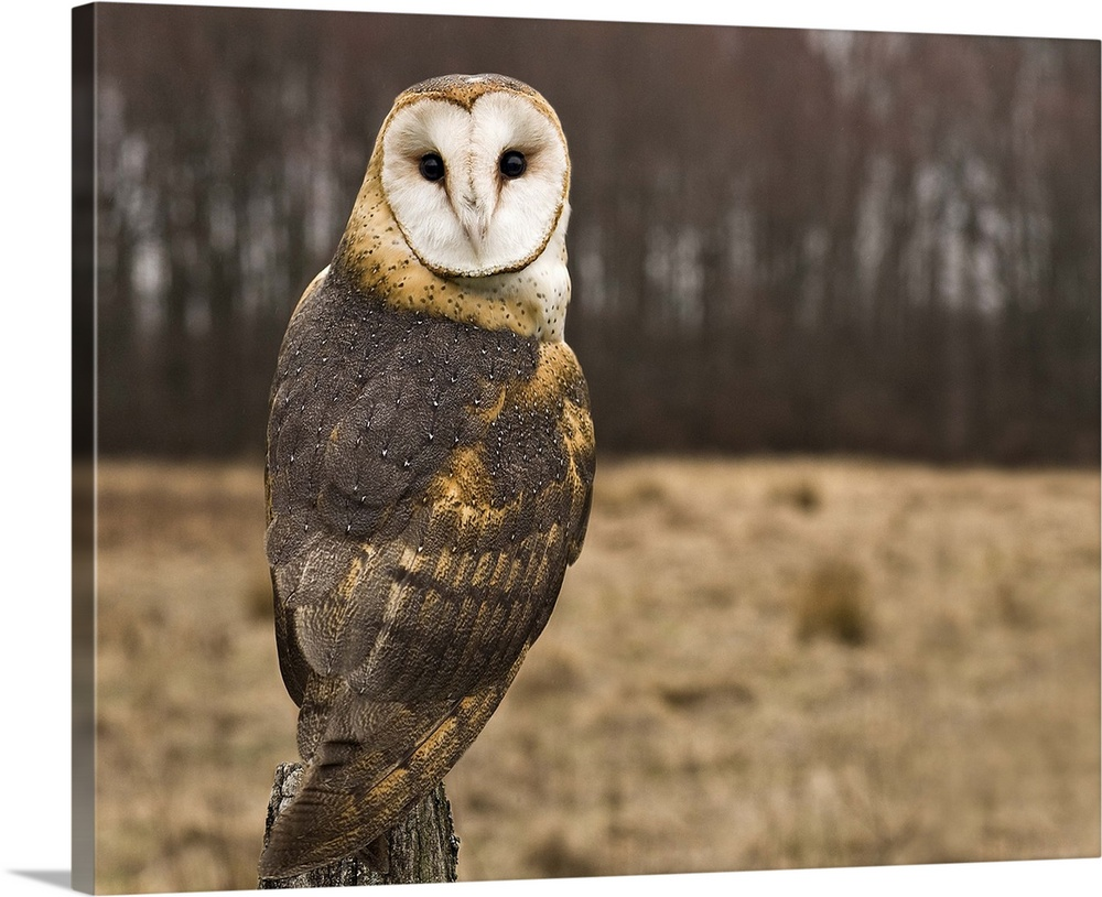 Large Gallery-Wrapped Canvas Wall Art Print 20 x 16 entitled Barn Owl looking at camera. Gallery-Wrapped Canvas entitled Barn Owl looking at camera..  Multiple sizes available.  Primary colors within this image include Peach Dark Gray White.  Made in the USA.  Satisfaction guaranteed.  Archival-quality UV-resistant inks.  Canvas is designed to prevent fading.  Museum-quality artist-grade canvas mounted on sturdy wooden stretcher bars 1.5 thick.  Comes ready to hang.
