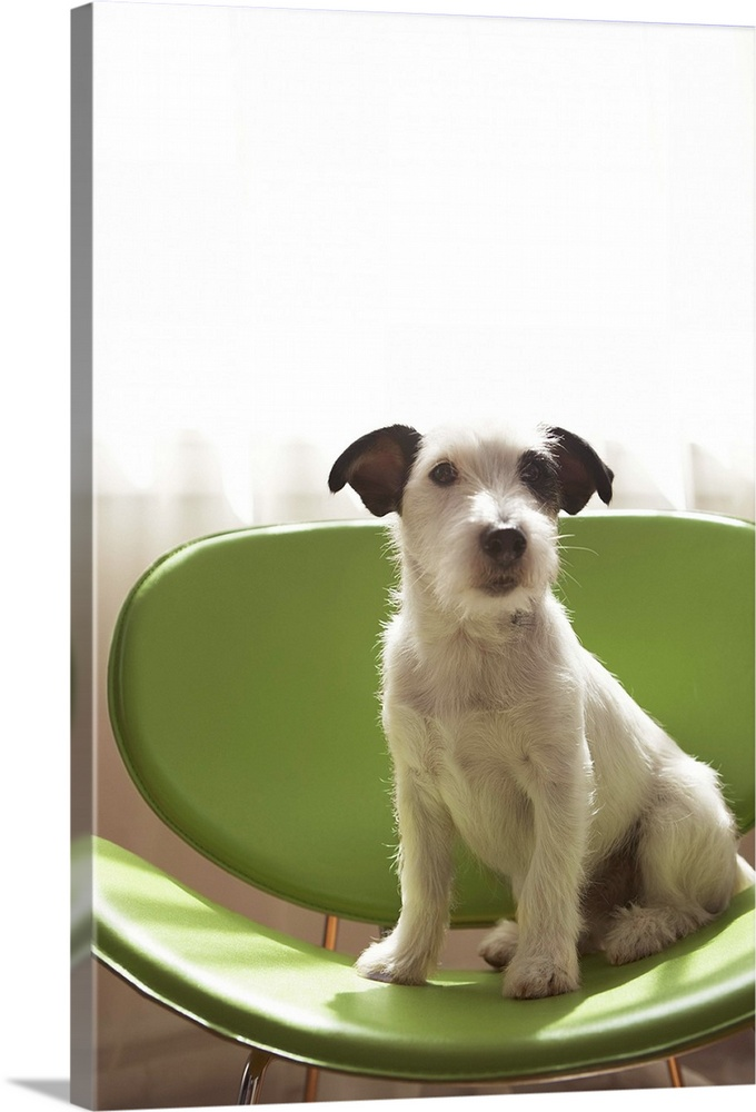 Large Solid-Faced Canvas Print Wall Art Print 20 x 30 entitled Black and white terrier dog sitting on green chair by window Solid-Faced Canvas Print entitled Black and white terrier dog sitting on green chair by window.  Jack russell terrier.  Multiple sizes available.  Primary colors within this image include Dark Yellow, White, Dark Forest Green.  Made in the USA.  Satisfaction guaranteed.  Archival-quality UV-resistant inks.  Featuring a proprietary design, our canvases produce the tightest corners without any bubbles, ripples, or bumps and will not warp or sag over time.  Archival inks prevent fading and preserve as much fine detail as possible with no over-saturation or color shifting.