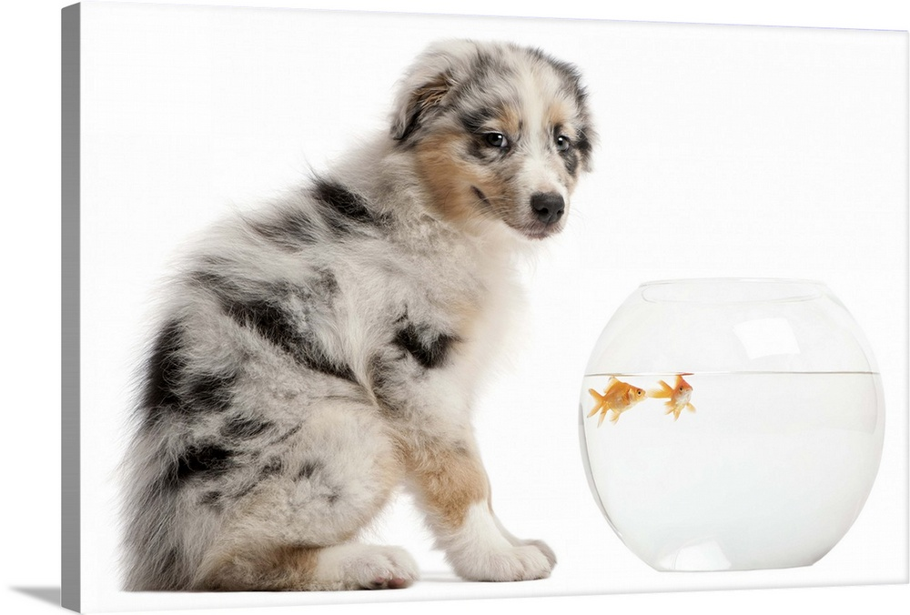 Large Gallery-Wrapped Canvas Wall Art Print 24 x 16 entitled Blue Merle Australian Shepherd puppy sitting in front of Gold... Gallery-Wrapped Canvas entitled Blue Merle Australian Shepherd puppy sitting in front of Goldfish in fish bowl.  Blue Merle Australian Shepherd puppy looking at camera and sitting in front of Goldfish swimming in fish bowl - Carassius Auratus.  Multiple sizes available.  Primary colors within this image include Black Gray White.  Made in the USA.  Satisfaction guaranteed.  Inks used are latex-based and designed to last.  Canvas is acid-free and 20 millimeters thick.  Canvas frames are built with farmed or reclaimed domestic pine or poplar wood.
