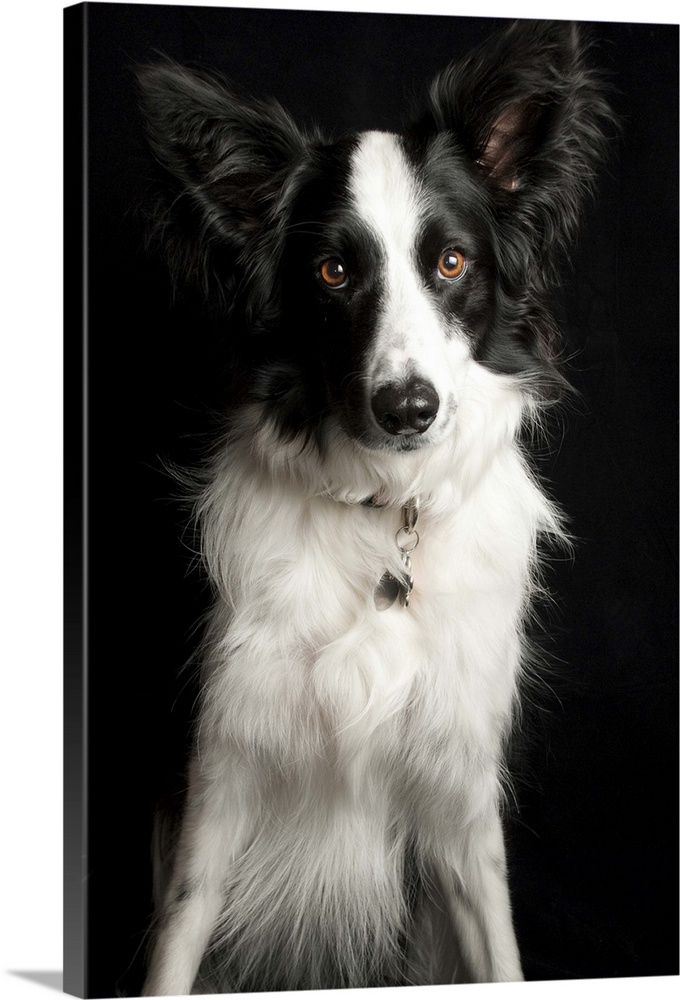 Large Gallery-Wrapped Canvas Wall Art Print 16 x 24 entitled Border Collie Gallery-Wrapped Canvas entitled Border Collie.  An inquisitive Border Collie posing for the camera.  Multiple sizes available.  Primary colors within this image include Black Gray White.  Made in USA.  All products come with a 365 day workmanship guarantee.  Inks used are latex-based and designed to last.  Canvas frames are built with farmed or reclaimed domestic pine or poplar wood.  Canvas is acid-free and 20 millimeters thick.