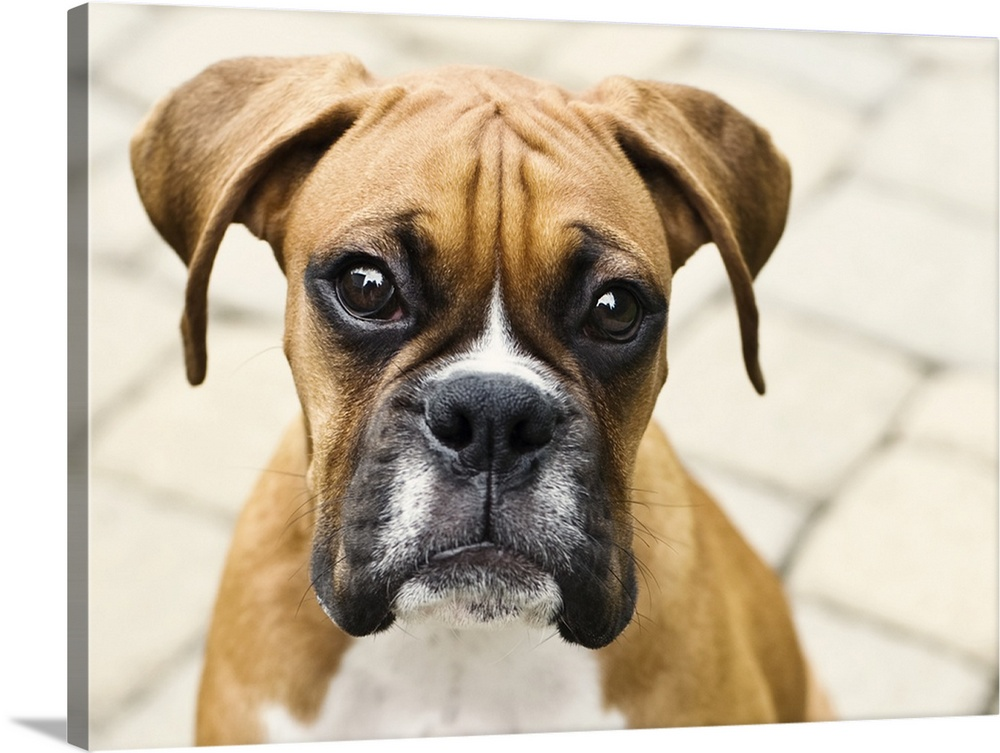 Large Gallery-Wrapped Canvas Wall Art Print 24 x 17 entitled Boxer puppy looking at camera. Gallery-Wrapped Canvas entitled Boxer puppy looking at camera..  Multiple sizes available.  Primary colors within this image include Peach Black Gray White.  Made in the USA.  All products come with a 365 day workmanship guarantee.  Inks used are latex-based and designed to last.  Canvases are stretched across a 1.5 inch thick wooden frame with easy-to-mount hanging hardware.  Canvas frames are built with farmed or reclaimed domestic pine or poplar wood.