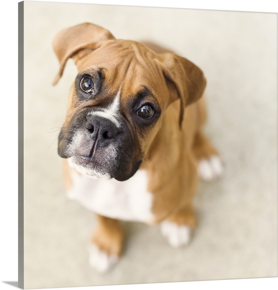 Large Gallery-Wrapped Canvas Wall Art Print 16 x 16 entitled Boxer puppy looking up at camera. Gallery-Wrapped Canvas entitled Boxer puppy looking up at camera..  Multiple sizes available.  Primary colors within this image include Peach Dark Gray White.  Made in USA.  Satisfaction guaranteed.  Archival-quality UV-resistant inks.  Canvas is acid-free and 20 millimeters thick.  Canvases are stretched across a 1.5 inch thick wooden frame with easy-to-mount hanging hardware.