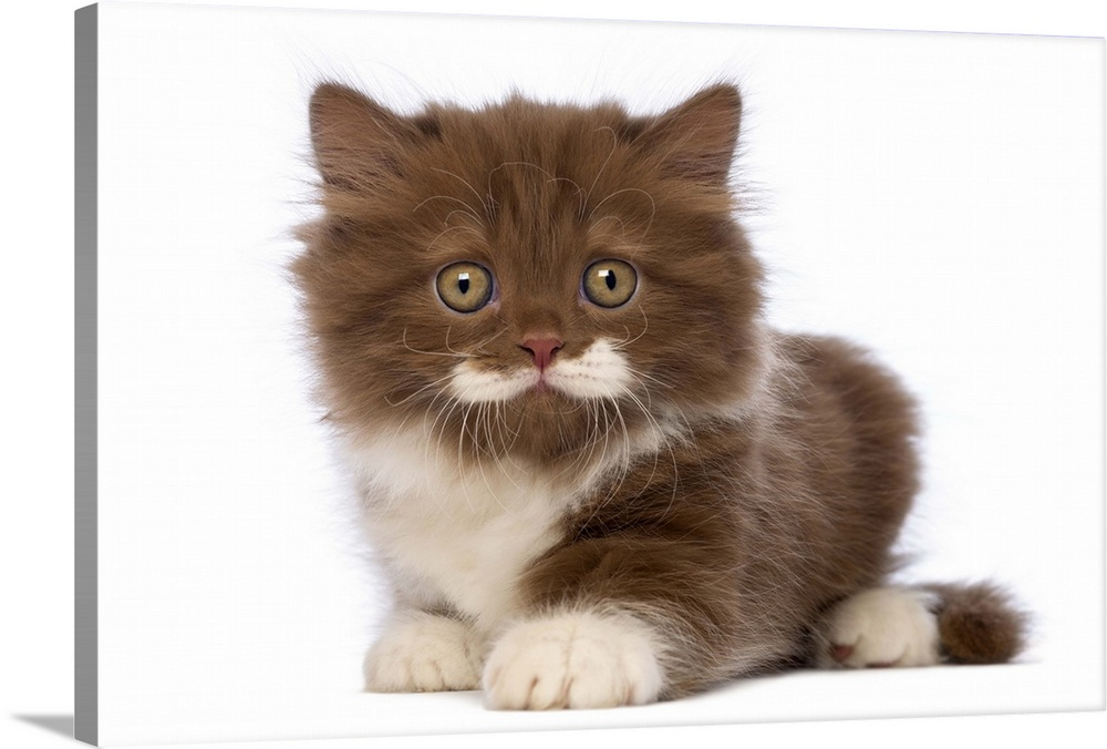 Large Solid-Faced Canvas Print Wall Art Print 30 x 20 entitled British Longhair kitten lying Solid-Faced Canvas Print entitled British Longhair kitten lying.  British Longhair kitten 6 weeks old lying and looking at the camera.  Multiple sizes available.  Primary colors within this image include White, Dark Forest Green.  Made in USA.  All products come with a 365 day workmanship guarantee.  Archival-quality UV-resistant inks.  Featuring a proprietary design, our canvases produce the tightest corners without any bubbles, ripples, or bumps and will not warp or sag over time.  Canvas depth is 1.25 and includes a finished backing with pre-installed hanging hardware.