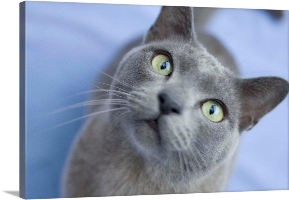 Large Gallery-Wrapped Canvas Wall Art Print 24 x 16 entitled Burmese cat looking to camera Gallery-Wrapped Canvas entitled Burmese cat looking to camera.  London UK.  Multiple sizes available.  Primary colors within this image include Black Gray Pale Blue.  Made in the USA.  Satisfaction guaranteed.  Archival-quality UV-resistant inks.  Canvas is acid-free and 20 millimeters thick.  Canvases are stretched across a 1.5 inch thick wooden frame with easy-to-mount hanging hardware.