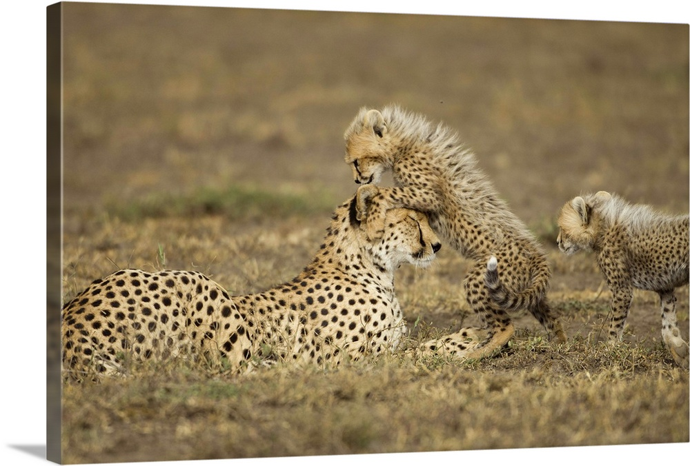 Large Gallery-Wrapped Canvas Wall Art Print 24 x 16 entitled Cheetah Mother and Cubs, Ndutu Plains, Tanzania Gallery-Wrapped Canvas entitled Cheetah Mother and Cubs Ndutu Plains Tanzania.  Tanzania Ngorongoro Conservation Area Ndutu Plains Cheetah cubs Acinonyx jubatas playing with mother while resting on savanna.  Multiple sizes available.  Primary colors within this image include Light Gray Dark Forest Green.  Made in USA.  All products come with a 365 day workmanship guarantee.  Inks used are latex-based and designed to last.  Canvases are stretched across a 1.5 inch thick wooden frame with easy-to-mount hanging hardware.  Canvas frames are built with farmed or reclaimed domestic pine or poplar wood.