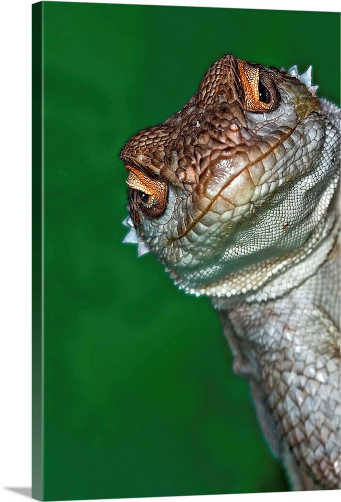 Large Gallery-Wrapped Canvas Wall Art Print 16 x 24 entitled Close-up view of a lizard's face Gallery-Wrapped Canvas entitled Close-up view of a lizards face.  Look reptile lizard interested by camera.  Multiple sizes available.  Primary colors within this image include Brown Forest Green Peach Gray.  Made in the USA.  Satisfaction guaranteed.  Archival-quality UV-resistant inks.  Canvases are stretched across a 1.5 inch thick wooden frame with easy-to-mount hanging hardware.  Canvas is designed to prevent fading.