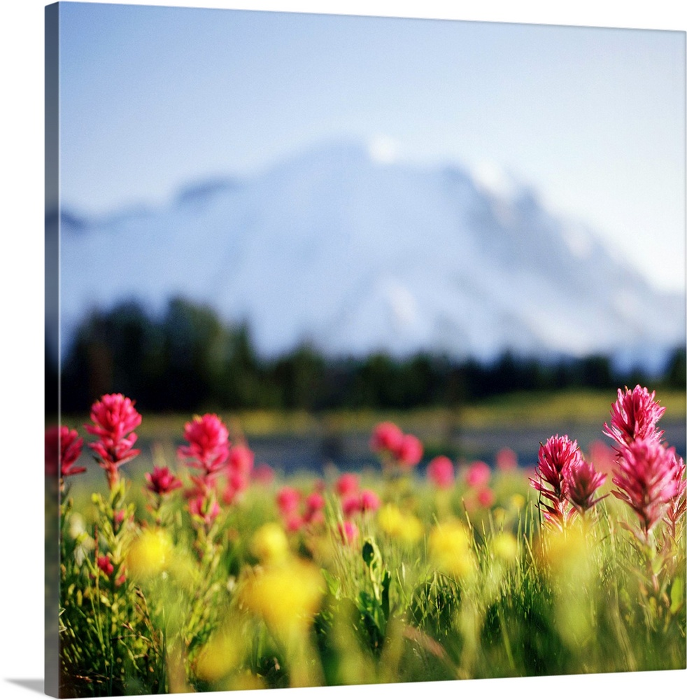 Large Solid-Faced Canvas Print Wall Art Print 20 x 20 entitled Daisies bloom in shadow of Mt. Rainier, Washington. Solid-Faced Canvas Print entitled Daisies bloom in shadow of Mt. Rainier, Washington..  Daisies bloom in shadow of Mt.Rainier, Washington.  Multiple sizes available.  Primary colors within this image include Light Yellow, Light Purple, Black.  Made in USA.  Satisfaction guaranteed.  Archival-quality UV-resistant inks.  Featuring a proprietary design, our canvases produce the tightest corners without any bubbles, ripples, or bumps and will not warp or sag over time.  Archival inks prevent fading and preserve as much fine detail as possible with no over-saturation or color shifting.