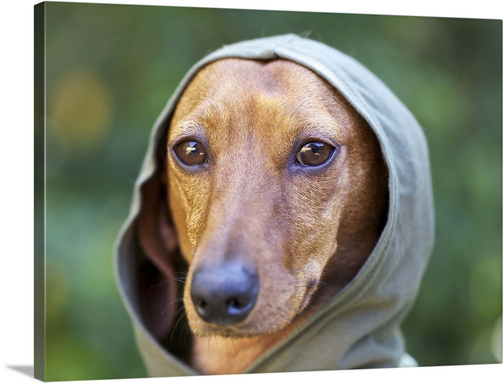 Large Solid-Faced Canvas Print Wall Art Print 40 x 30 entitled Dashshund wearing a hoodie Solid-Faced Canvas Print entitled Dashshund wearing a hoodie.  Emmy Lou is rescued dachshund dog.  Multiple sizes available.  Primary colors within this image include Peach, Black, Dark Forest Green, Pale Blue.  Made in USA.  Satisfaction guaranteed.  Archival-quality UV-resistant inks.  Archival inks prevent fading and preserve as much fine detail as possible with no over-saturation or color shifting.  Featuring a proprietary design, our canvases produce the tightest corners without any bubbles, ripples, or bumps and will not warp or sag over time.