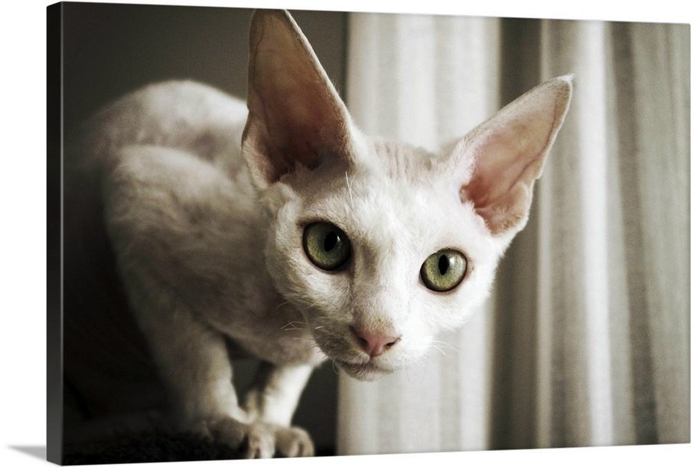 Large Gallery-Wrapped Canvas Wall Art Print 24 x 16 entitled Devon Rex Cat looking at camera. Gallery-Wrapped Canvas entitled Devon Rex Cat looking at camera..  Multiple sizes available.  Primary colors within this image include Black Gray Silver.  Made in the USA.  All products come with a 365 day workmanship guarantee.  Archival-quality UV-resistant inks.  Canvases have a UVB protection built in to protect against fading and moisture and are designed to last for over 100 years.  Canvases are stretched across a 1.5 inch thick wooden frame with easy-to-mount hanging hardware.