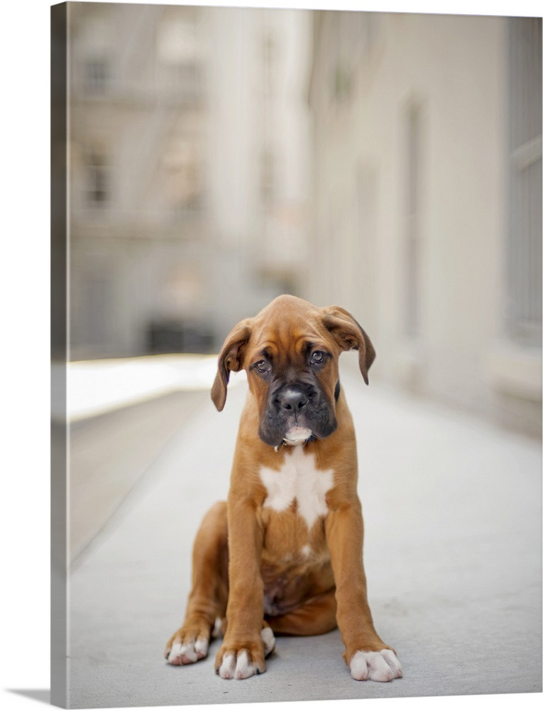 Large Gallery-Wrapped Canvas Wall Art Print 17 x 24 entitled Fawn colored boxer puppy with black face and white markings s... Gallery-Wrapped Canvas entitled Fawn colored boxer puppy with black face and white markings standing in alley.  Fawn colored boxer puppy with black face and white markings standing in alley.  2 months old looking at  camera sadly.  Multiple sizes available.  Primary colors within this image include Peach Dark Gray Silver.  Made in USA.  All products come with a 365 day workmanship guarantee.  Inks used are latex-based and designed to last.  Museum-quality artist-grade canvas mounted on sturdy wooden stretcher bars 1.5 thick.  Comes ready to hang.  Canvases have a UVB protection built in to protect against fading and moisture and are designed to last for over 100 years.