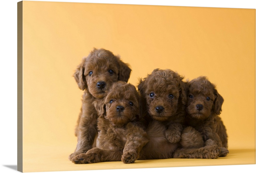 Large Solid-Faced Canvas Print Wall Art Print 30 x 20 entitled Four Toy Poodle Puppies Solid-Faced Canvas Print entitled Four Toy Poodle Puppies.  Multiple sizes available.  Primary colors within this image include Peach, Black, Gray.  Made in the USA.  Satisfaction guaranteed.  Archival-quality UV-resistant inks.  Canvas depth is 1.25 and includes a finished backing with pre-installed hanging hardware.  Canvas is handcrafted and made-to-order in the United States using high quality artist-grade canvas.