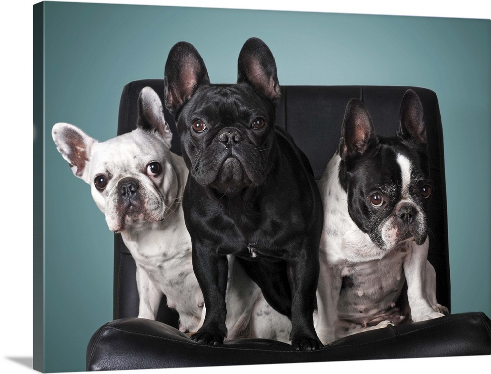 Large Solid-Faced Canvas Print Wall Art Print 40 x 30 entitled French bulldog on the chair with blue background. Solid-Faced Canvas Print entitled French bulldog on the chair with blue background..  Multiple sizes available.  Primary colors within this image include Black, Gray, Silver.  Made in USA.  Satisfaction guaranteed.  Inks used are latex-based and designed to last.  Featuring a proprietary design, our canvases produce the tightest corners without any bubbles, ripples, or bumps and will not warp or sag over time.  Archival inks prevent fading and preserve as much fine detail as possible with no over-saturation or color shifting.
